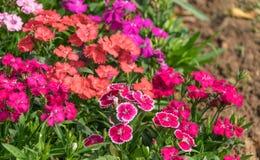 Dianthus-Blumen chinensis Stockfotos