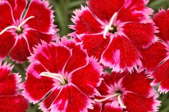 Red and Pink Dianthus Brigette Flowers Royalty Free Stock Image