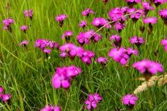 Dianthus callizonus Stockfotos