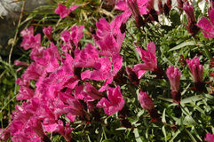 Dianthus callizonus, endemic carnation plant. Dianthus callizonus, endemic plant carnation from Piatra Craiului Mountains (Romanian Carpathians stock image