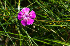 Dianthus callizonus endemic flower. Endemic pink flower found only in Piatra Craiului mountains in romanian Carpathians stock images