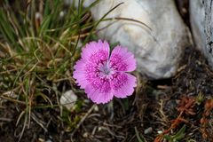 Dianthus callizonus. Endemic plant being part of Piatra Craiului, Romania, is found nowhere else in the world Stock Photo