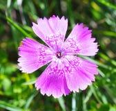 Dianthus callizonus Stock Image