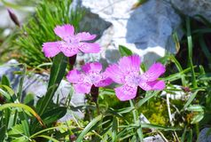 Dianthus callizonus Royalty Free Stock Photography