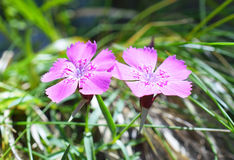 Dianthus callizonus Stock Photography
