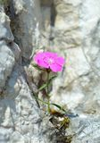 Dianthus callizonus Royalty Free Stock Photo