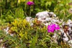 Dianthus carthusianorum (Carthusian Pink). Stock Photography