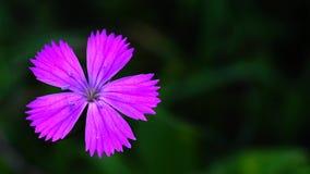 Dianthus carthusianorum stock video