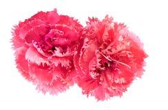 dianthus caryophyllus гвоздики цветет пинк Стоковое Изображение