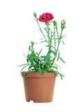 Dianthus Caryophyllus Stock Image