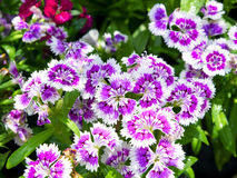 Dianthus Caryophyllus. Stock Photos