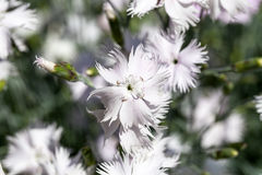 Dianthus caryophyllus & x28;carnation& x29;, white flowers blooming in the garden Royalty Free Stock Photography