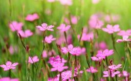 Dianthus caryophyllus rosa del fiore del garofano Immagine Stock Libera da Diritti