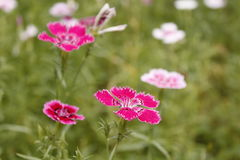 The Dianthus from China. They called chinensis yet Stock Photos