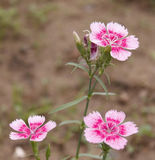 The Dianthus from China. They called chinensis yet Stock Images