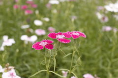 The Dianthus from China. They called chinensis yet Royalty Free Stock Photos