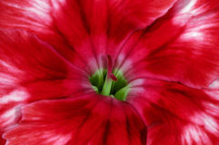 Dianthus chinensis Stock Photos