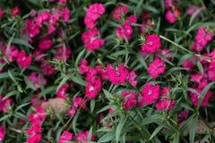 Dianthus chinensis Λ Στοκ εικόνα με δικαίωμα ελεύθερης χρήσης