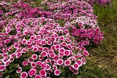 Dianthus chinensis Λ Στοκ Φωτογραφίες