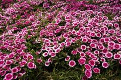 Dianthus chinensis Λ Στοκ Εικόνες