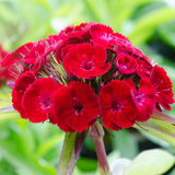 Dianthus chinensis Στοκ φωτογραφία με δικαίωμα ελεύθερης χρήσης