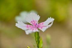 Dianthus chinensis Zdjęcia Stock