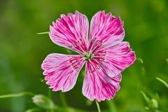 Dianthus chinensis Fotografia Stock Libera da Diritti