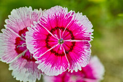 Dianthus chinensis Zdjęcie Stock