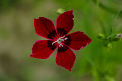 Dianthus chinensis Obrazy Stock