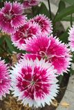 Dianthus. Chinensis, also known as China Pink, is a perennial plant native to northern China. The flowers are white, pink or red and grow in small clusters from Stock Photography