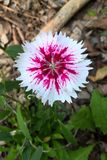 Dianthus. Chinensis, also known as China Pink, is a perennial plant native to northern China. The flowers are white, pink or red and grow in small clusters from Royalty Free Stock Photos