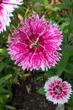Dianthus. Chinensis, also known as China Pink, is a perennial plant native to northern China. The flowers are white, pink or red and grow in small clusters from Stock Photo