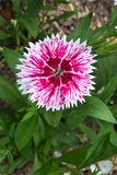 Dianthus. Chinensis, also known as China Pink, is a perennial plant native to northern China. The flowers are white, pink or red and grow in small clusters from Royalty Free Stock Image