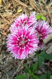 Dianthus. Chinensis, also known as China Pink, is a perennial plant native to northern China. The flowers are white, pink or red and grow in small clusters from Stock Images