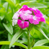 Dianthus chinensis Royalty Free Stock Photos