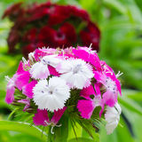 Dianthus chinensis Stock Images