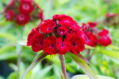 Dianthus chinensis Stock Image