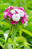 Dianthus chinensis Stock Photography