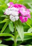 Dianthus chinensis Stock Photos