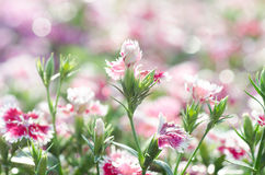 Dianthus chinensis (China Pink) Royalty Free Stock Images