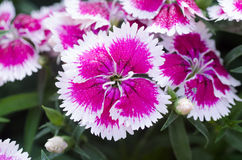 Dianthus chinensis (China Pink) Royalty Free Stock Photography