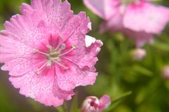 Dianthus chinensis china pink closeup Stock Photography