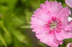 Dianthus chinensis china pink closeup Royalty Free Stock Images