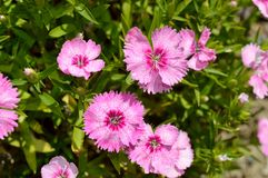 Dianthus chinensis china pink Royalty Free Stock Images