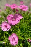 Dianthus chinensis china pink Royalty Free Stock Photos