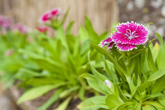 Dianthus chinensis or China pink flowers Stock Photos