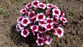 Dianthus chinensis - China pink flowers Stock Photography