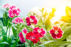 Dianthus chinensis China Pink Flowers Stock Photos