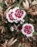 Dianthus Chinensis. Dianthus or China Pink in Saraburi, Thailand Royalty Free Stock Images
