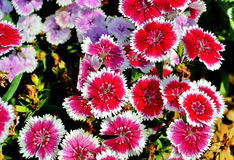 Dianthus chinensis (China Pink) Royalty Free Stock Photo